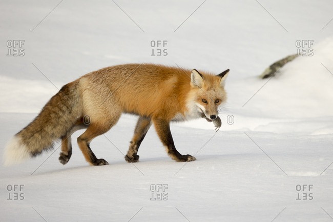 A red fox, Vulpes vulpes, carries its rodent prey in its mouth