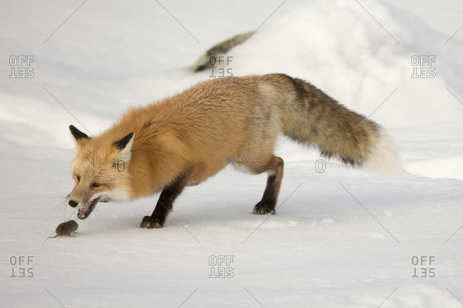 A red fox, Vulpes vulpes, opens its mouth to prey on a rodent in the snow