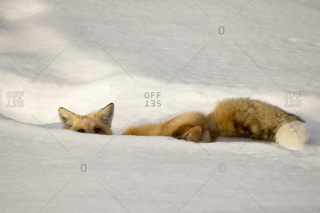 A red fox, Vulpes vulpes, lies partially hidden in a depression in the snow