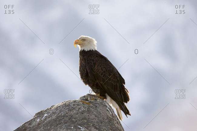 A bald eagle, Haliaeetus leucocephalus, perches on a rock