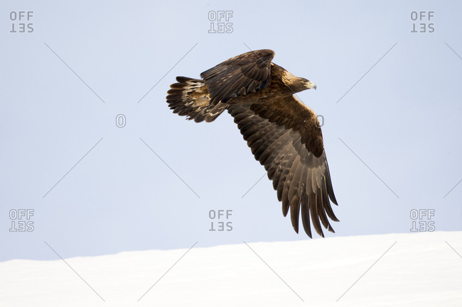 A golden eagle, Aquila chrysaetos, flaps its large wings downward while in flight