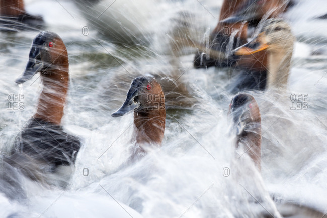 A close-up shows a flock of canvasback ducks, Aythya valisineria, in a spray of splashed water