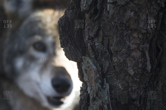 A red wolf, Canis rufus, peers from behind a tree trunk