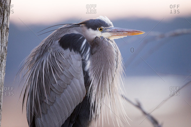 Close-up of a blue heron shows details of its intricate feathers