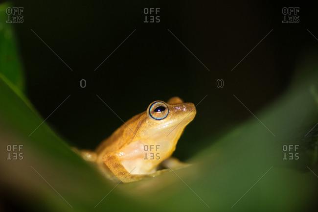 A Blue eyed frog, Raorchestes luteolus, sits on a leaf
