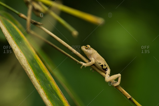 A Ponmudi species of tree frog hangs on a plant stem