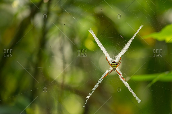 A Signature spider, Argiope aurantia, makes an X shape on its web