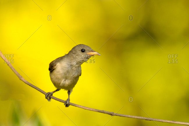 A Nilgiri Flowerpecker perches on a branch