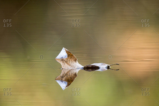 A fallen leaf reflects off calm water