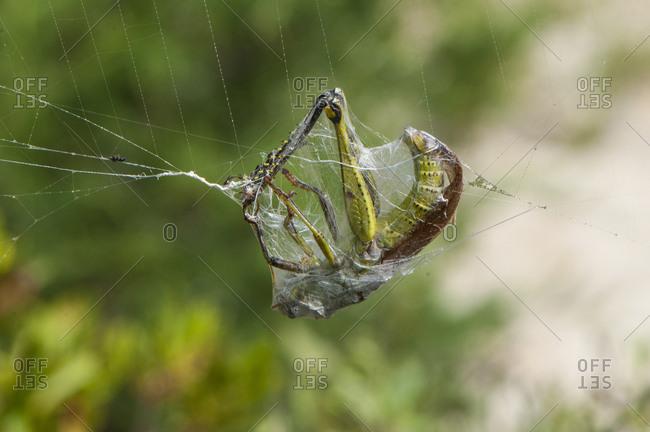 A captured grasshopper in a spider web on Harkers Island in Shakleford Banks, North Carolina