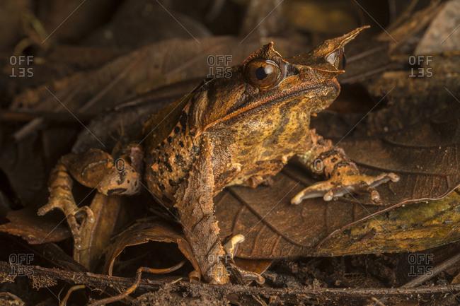 A Malaysian horned frog, Megophrys nasuta, rests on leaf litter