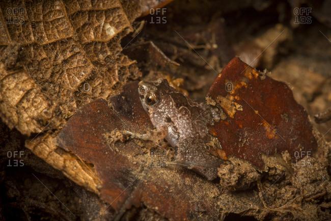 A pitcher plant frog rests on leaf litter