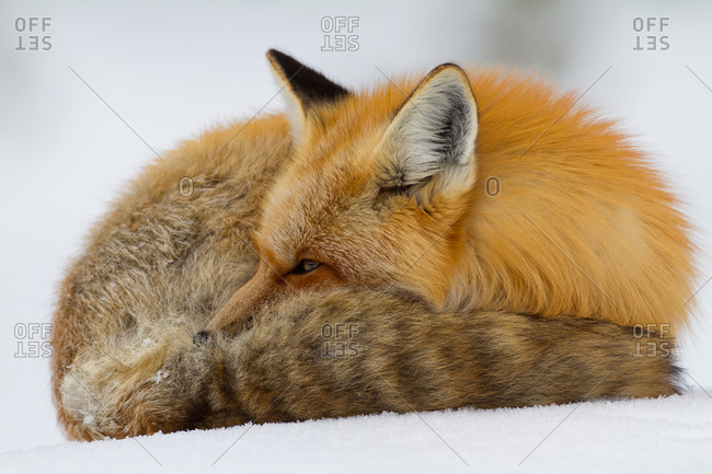 A close-up of a Red Fox, Vulpes vulpes, curled up to rest, but ever watchful