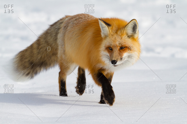 A close-up of a Red Fox, Vulpes vulpes, back-lit stalking it's prey in fresh fallen snow