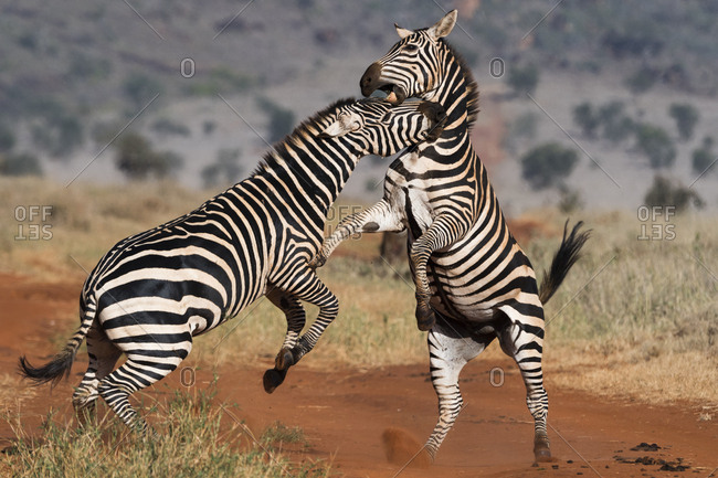 Two common zebras, Equus quagga, fighting