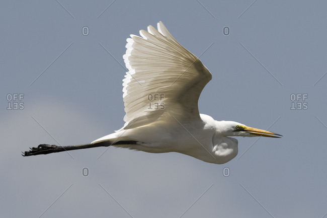 A great egret, Egretta alba, in flight