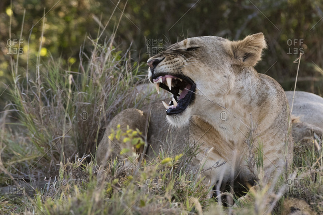 A lioness, Panthera leo, snarling