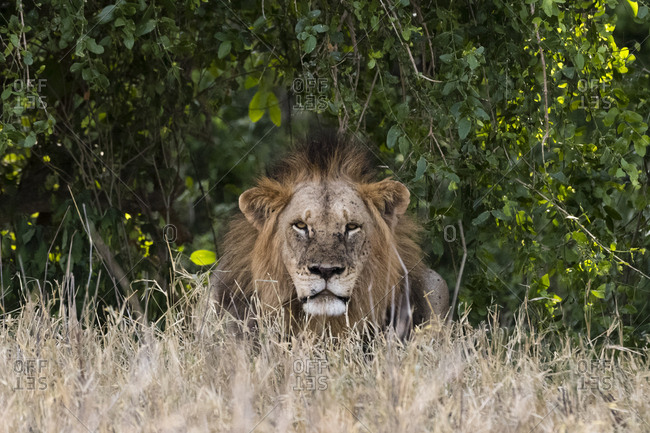 A fully grown adult lion, Panthera leo, looking into the camera