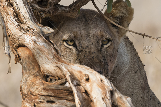 A lioness, Panthera leo, behind a dead tree looking into the distance