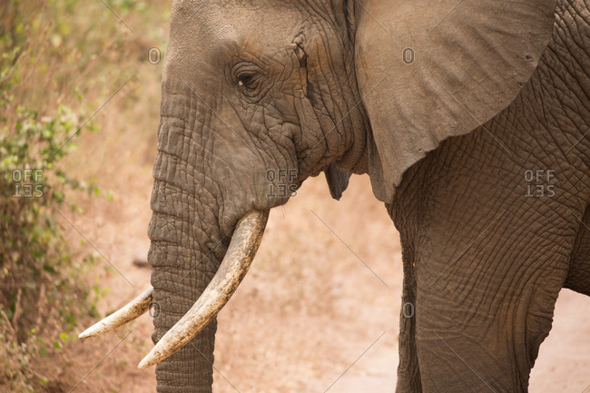 An African elephant in Lake Manyara National Park
