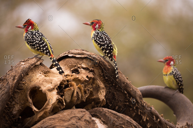 Red and yellow barbets perch on a water buffalo skull