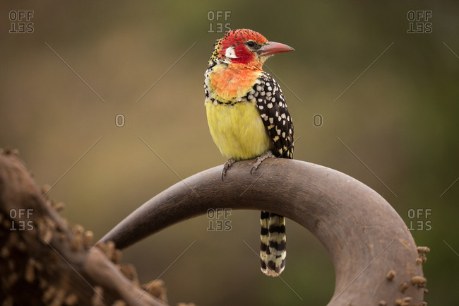 A red and yellow barbet perches on a water buffalo skull
