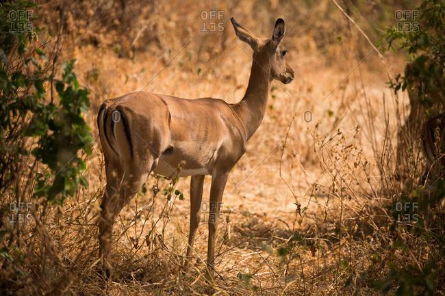 An impala in Lake Manyara National Park