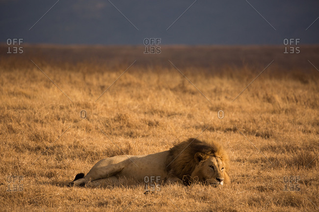 A male lion resting in Ngorongoro Crater National Park