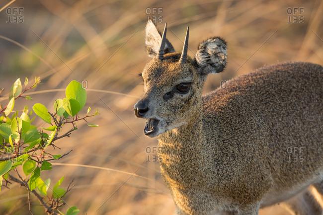 A klipspringer in Serengeti National Park