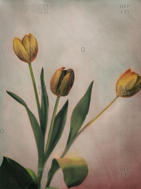 Hand colored photo of yellow tulips