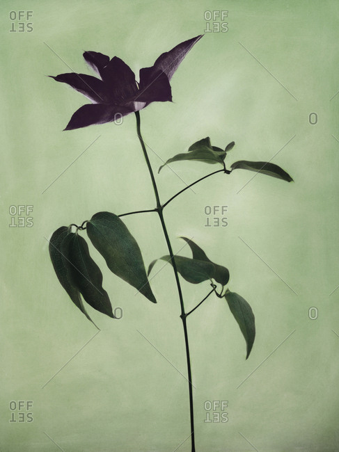 Hand colored photo of single purple flower