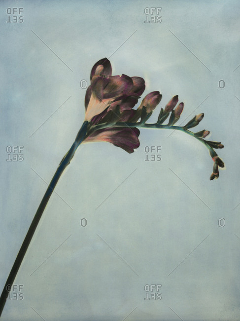 Hand colored photo of freesia flower