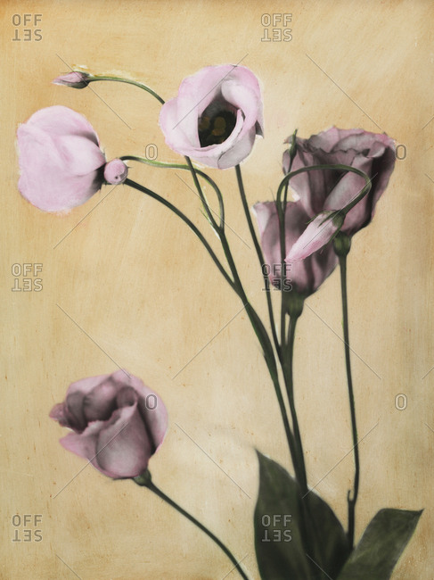 Hand colored photo of pink flowers