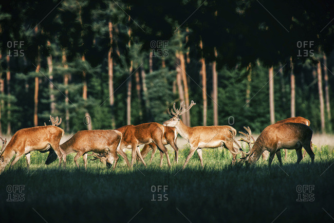Herd of red deer stag with antlers in velvet in forest meadow.