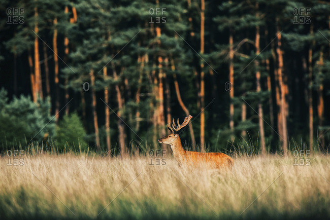 Forest meadow with red deer stag with antlers in velvet. Lit by evening sun.