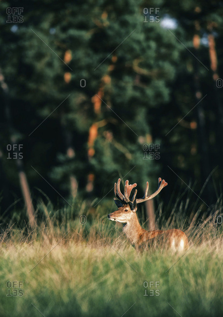 Red deer male with antlers in velvet in tall grass lit by evening sunlight.