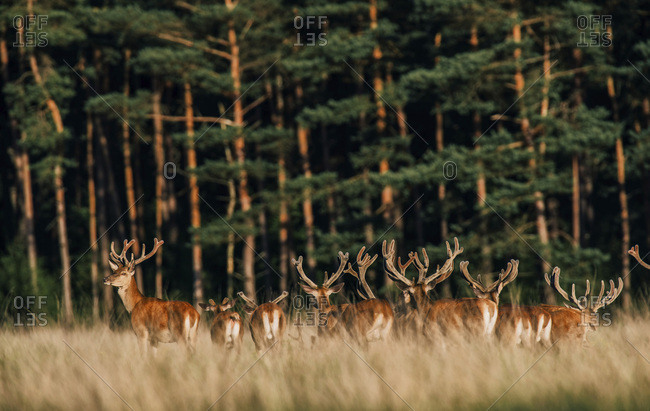 Group of red deer with antlers in velvet in tall grass. Lit by evening sun.