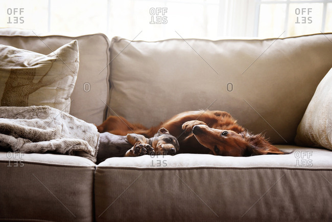 Two dogs cuddling on a couch
