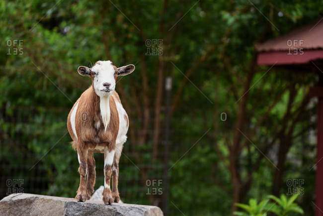 Billy goat standing on a rock