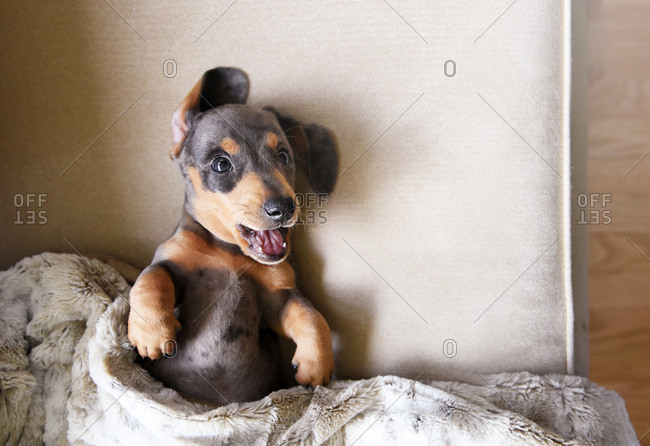Puppy smiling on couch with blanket