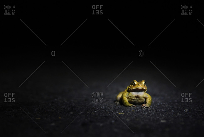 Frog in the road at night