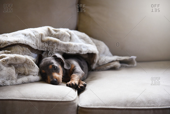 Puppy resting on couch