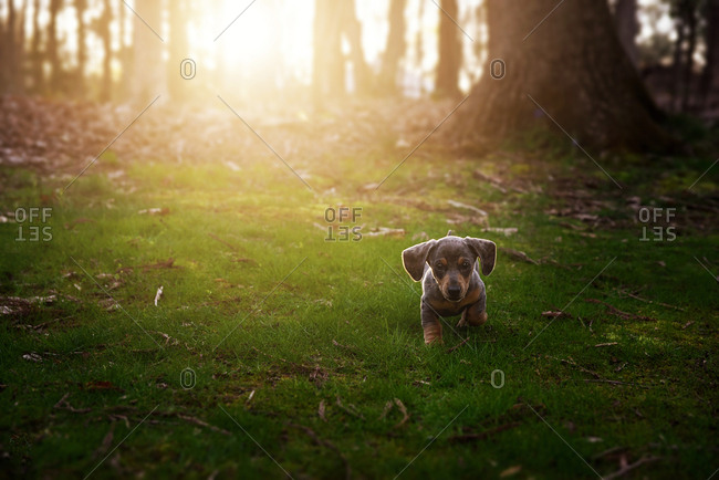 Puppy exploring at sunset