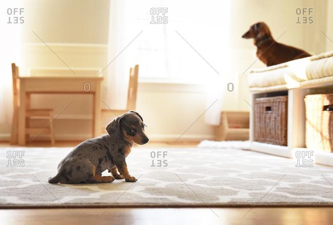 Dachshund puppy sitting on rug