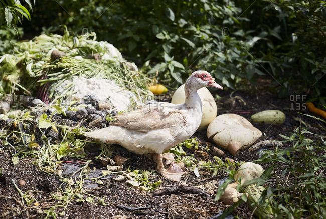 A duck by discarded fruit