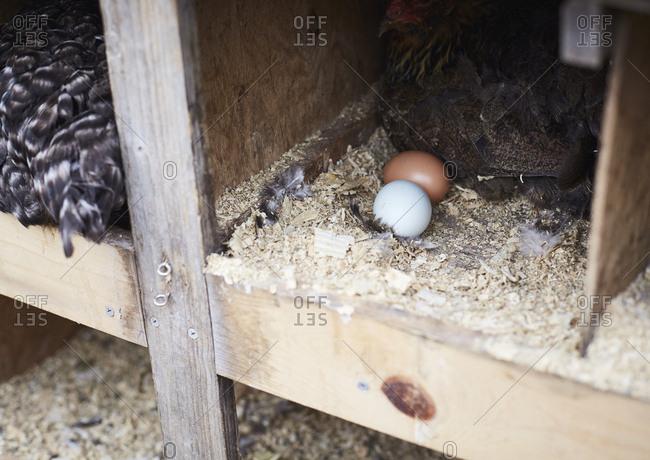 Fresh laid eggs in coop