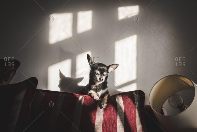 Chihuahua dog lying on sofa in sunlight