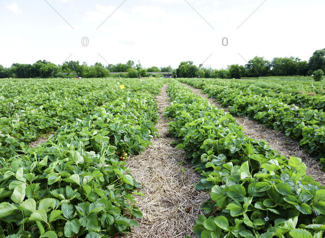 Rows of strawberry plants at a farm
