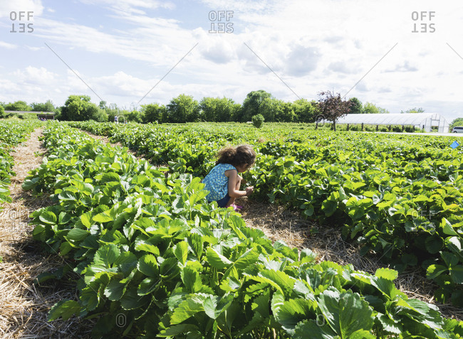 Girl picking strawberries in field