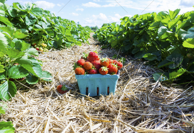 Berry basket of strawberries on the farm